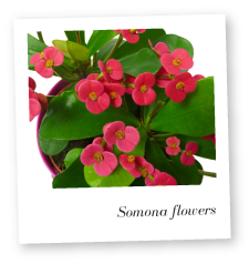 crown of thorns plant care instructions